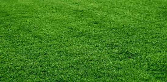 Korean carpet grass